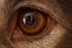 eye reflection (sure2talk) Tags: macromondays eyes eyereflection tasku finnishlapphund reflection mykitchen me brown golden nikond7000 nikkor85mmf35gafsedvrmicro