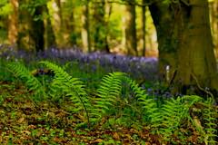 The Chorus Line .... (acwills2014) Tags: bokeh ferns chorus dancing fresh growth bluebells