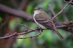 Empidonax sp. (Wilmer Quiceno) Tags: empidonax atrapamoscas tyrannidae medellin aves birds birding birdwatching