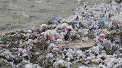 spiaggiamento di gasteropodi (Carla@) Tags: janthinapallida lumacadimare gasteropode liguria italia europa mfcc canon