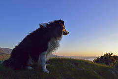 Thought for the day (Mike & Indy) Tags: laddie dog dogs bordercollie llanfairfechan mountains explore