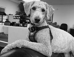 Harry, at work. 37 (4s) (Mega-Magpie) Tags: iphone 4s indoors harry dog puppy poodle monochrome mono bw black white il illinois usa america office work