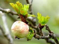 galnut and ant (BrigitteE1) Tags: galnutandant intothewoods macromondays gallapfelundameise baum tree wald wood eichenschwammgalle gallwespe biorhizapallida eichenknospe kartoffelgalle ardappelgal