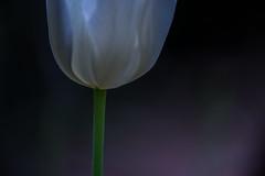 DSC_2649 (Darjeeling_Days) Tags: macro nature 南大沢 金蘭 銀蘭 華 花 絶滅危惧種 雑木林 flower チューリップ