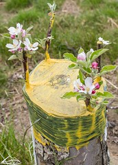 Newly grafted apple tree (Washington State Department of Agriculture) Tags: apple blossoms grafting orchard spring