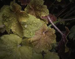 Crimson, Copper, and Gold (GloriaOcch) Tags: spring rain heuchera coralbells leaves raindrops