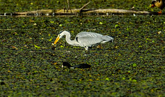 Heron catches a frog (Bojan Žavcer) Tags: grey heron greyheron ardeacinerea čaplja žaba frog canoneos7dmarkii ef600mmf4lisusm 1200mm