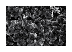 Wild Violets and Sweetspire (sorrellbruce) Tags: violets acrosred thoreau bw wildviolets virginiasweetspire iteavirginica patterns shapes