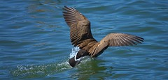 Water Landing (swong95765) Tags: goose canadagoose landing touchdown water river wings feathers