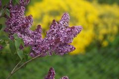 Flieder Mai 2017 (mtw60) Tags: natur flieder germany frühling reutlingen rt lila violett garten sony a58 alpha58 alpha 58 new mai 2017 eingefangen zwischen den zäunen sigmaautofocuszoom75300mm1456