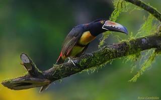 Tucancillo Collarejo | Collared Aracari (Pteroglossus torquatus)