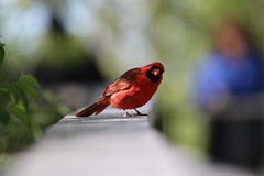 Curious Cardinal (Jan Nagalski) Tags: outofthecamera colorful depthoffield bokeh foregroundblur backgroundblur red blue green bird nature wildlife cardinal redbird northerncardinal birding birder ohio northwestohio lakeerie mageemarsh jannagalski jannagal curious quizzical