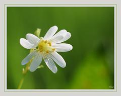 Champêtre !! (thierrymazel) Tags: macro fleurs flowers blossoms nature printemps spring cadre bordure bokeh profondeur champ pdc dof