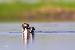 Great Crested Grebe (Podiceps cristatus)  凤头鸊鷉 fèng tóu pì tī (China (Jiangsu Taizhou)) Tags: nikon d5 600mm f4 vr birds 2017 china birdsofchina hangzhou southlake 杭州南湖 hángzhōunánhú wildlife birding forestpark greatcrestedgrebe podicepscristatus 凤头鸊鷉 fèngtóupìtī ngc nationalgeographic birdwatching birdwatcher shorebirds lake bird