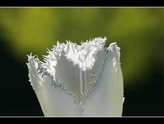 tulpe, crispa (amdolu) Tags: tulpe crispa honeymoon tulip weis blüte fransen stadtparknorderstedt