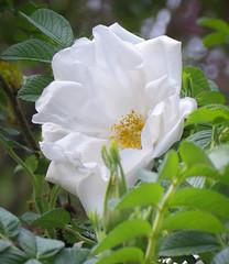 Rose (mahar15) Tags: rose whiterose flower spring nature onerose singleflower singlerose shrubrose