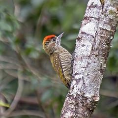 picapauzinho-anão (Veniliornis passerinus)  Little Woodpecker (claudio.marcio2) Tags: picapauzinhoanão woodpecker veniliornispasserinus pássaro bird oiseaux natureza nature wildlife brazil