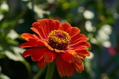 ML_170513_4 (alfrd p) Tags: nature flora flowers plants zinnia mountlofty botanic garden