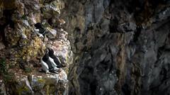 Razor bill (Alca torda) (zoomleeuwtje) Tags: alcatorda razor bill wales cliffs