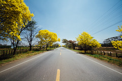 Open Road, Yellow Trees, Blue Sky, Colombia (AdamCohn) Tags: kmtoin adamcohn cesar colombia losrobleslapaz sanjosédeoriente sanjosédeorientebetania tabebuiachrysantha blueskies bluesky geo:lat=10384862 geo:lon=73216745 geotagged guayacan wwwadamcohncom yellow yellowflowers yellowtrees