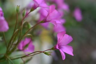 Oxalis articulata - Trifoglio a fiori rosa trapiantato