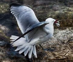 Hora de comer (candi...) Tags: gaviota pez comida ave roca agua mar naturaleza nature airelibre sonya77