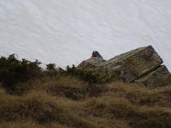 Hike Soldeu - Vall d'Incles - Estany de Cabana Sorda - Riu del Manegor - Vall d'Incles - Soldeu (Andorra) (Loeffle) Tags: 052017 andorra estanydecabanasorda riudelmanegor valldincles soldeu pyrenäen wandern wanderung wanderweg hiking hike hikingtrail pirineus pirineos pyrenees marmot marmots murmeltier murmeltiere