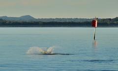 DSC_0047 (15) (RUMTIME) Tags: dolphin coochiemudlo coochie brisbane queensland redlands bay