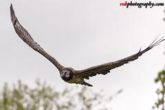 Wildlife Photography @ Warwick, England (rvk82) Tags: 2017 birds england may may2017 nikkor70200mm nikon nikond810 rvk rvkphotography raghukumar raghukumarphotography warwick wildlife rvkphotographycom unitedkingdom gb rvkonlinecom