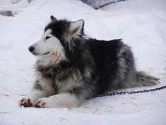 Resting dog (lmundy2002) Tags: dogs dogsled dogsledding huskies sleds whitefish olney whitefishmt olneymt montana mt winter wintersports