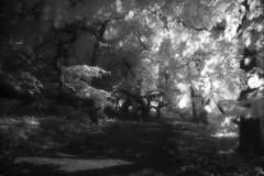 Märchenwald 1 (the future is analog) Tags: analog film bw infrared infrarot efke ir820 aph09 trees tree forest wald woods süntelbuche süntelbuchen dwarf beech fagus sylvatica suentelensis