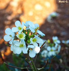 Ramo de florecillas (Nati C.) Tags: catalunya barcelona corródavall flores blancas ramo naturaleza