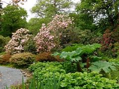 Clyne in Bloom Mid-May 2017 (8) (goweravig) Tags: clynegardens clyne parks gardens swansea mayals wales uk flowers azaleas blooms rhododendrons
