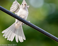 This place has the best food.... (Tewmom) Tags: bokehandbeyond bird tuftedtitmouse flight bokeh nature