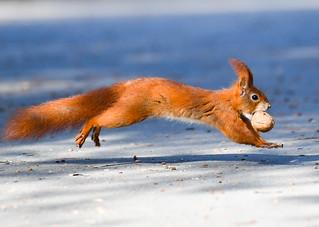 Hörnchen in Eile - Flying squirrel ;-))