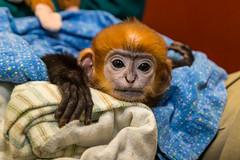 Endangered François' Langur Baby (San Diego Zoo Global) Tags: baby babyanimals cute primates primate monkey langur françois'langur sandiego sandiegozoo animal wildlife animalcare endangered endangeredspecies babymonkey adorable