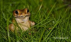 VISITOR (fabiogis50) Tags: frog rana nature nightshot animals anfibio bali