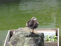 Wisteria Festival at Kameido Tenmangu Shrine (walking.biking.japan) Tags: tokyo kameido kotoku shrine birds
