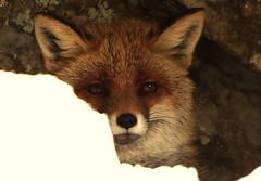 fox - portrait (stempel*) Tags: polska poland polen polonia pentax k30 gambezia tpn tatry tatrzański park narodowy dolina kościeliska valley sigma bigma animal fox lis jaskinia cave snow śnieg vulpes