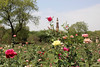 Unfair competition (Inspired by M.A.S.) Tags: rose garden qutub minor
