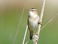 Sedge Warbler (davidhampton1066) Tags: acrocephalusschoenobaenus sedgewarbler warbler bird reading fobney