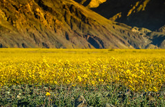Yellowtime of Death Valley (Hanna Tor) Tags: trip travel nature landscape desert yellow deathvalley blossom flowers hannator park nationalpark