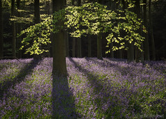 Final bluebell shot this year...... (Sue MacCallum-Stewart) Tags: bluebells wephamwoods woodland trees flowersnature