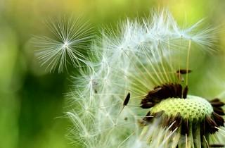 Dandelion macro/close up