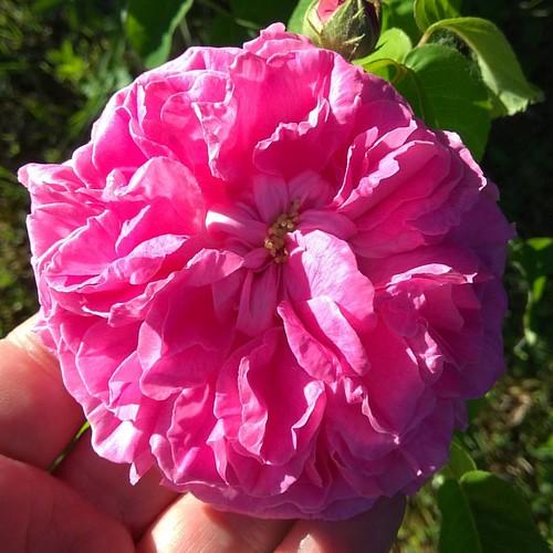 Rosa Rosae...