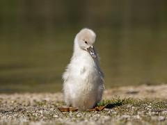 P5060223 (turbok) Tags: almsee bergsee höckerschwan landschaft schwäne tiere vögel wasser wildtiere c kurt krimberger
