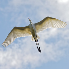 """Great Egret Flies Over (dcstep) Tags: n7a3346dxo birdinflight flight flying wing wings pixelpeeper """"canon 5d mkiv"""" """"ef 100400mm f4556l is ii"""" """"all rights reserved"""" """"copyright 2017 – david c stephens"""" """"st augustine"""" fl florida """"alligator farm"""" augustine alligator """"dxo optics pro 114"""" nature sanctuary egret greategret handheld ecoregistrationcase15586202651"""