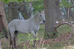 Wild New Forest pony (drbut) Tags: wildnewforestpony horse pony nature wildlife canon500f4isusm