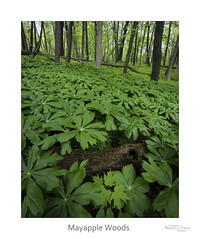 Mayapple Woods (baldwinm16) Tags: dupagecounty forestpreserve il illinois may forest midwest nature season spring woodland woods natureofthingsphotography