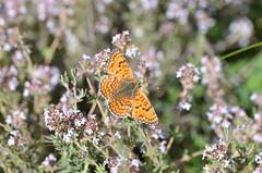 Resting butterfly (dfromonteil) Tags: papillon butterfly orange brown marron colors couleurs fleurs flowers thym nature insect insecte bug black noir macro bokeh